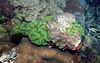 Micronesia 2007 : Palau brain coral IMG131