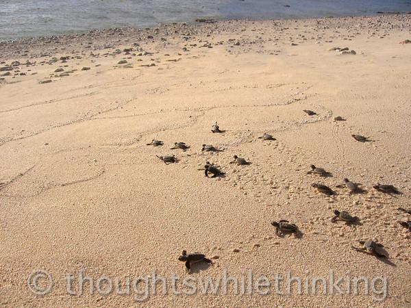 Micronesia 2007 : Ulithi - Gielop Island green sea turtle hatchlings IMG_1488.JPG