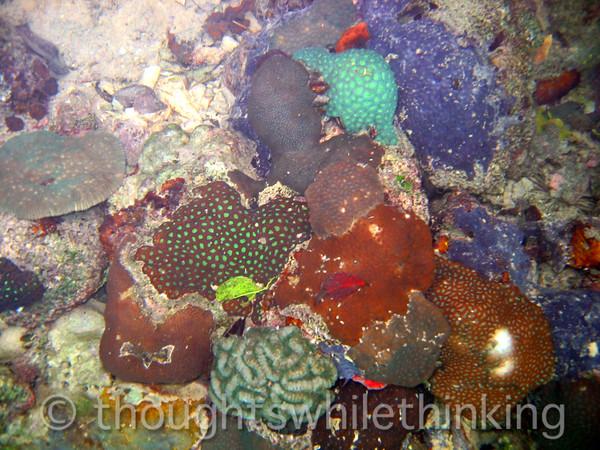 Micronesia 2007 : Palau coral Favites flexuosa (brown & green) IMG_1165.JPG