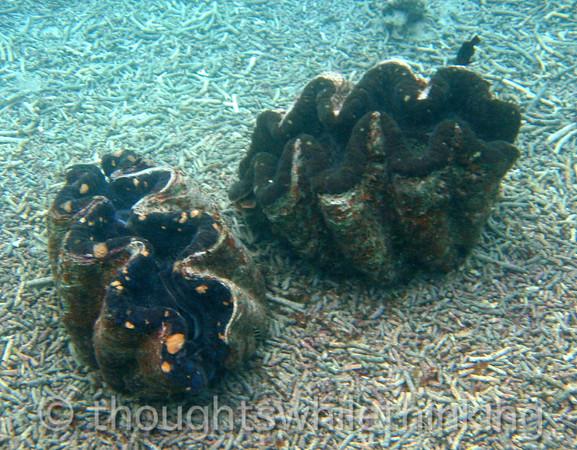 Micronesia 2007 : Palau giant clams IMG_1133.JPG