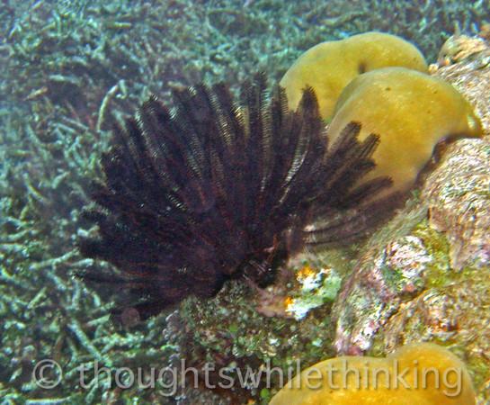 Micronesia 2007 : Palau feather stars Comaster gracilis IMG_1102.JPG