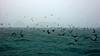 Micronesia 2007 : Palau noddy terns IMG_1116.JPG