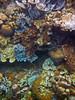 Micronesia 2007 : Palau coral IMG_1203.JPG