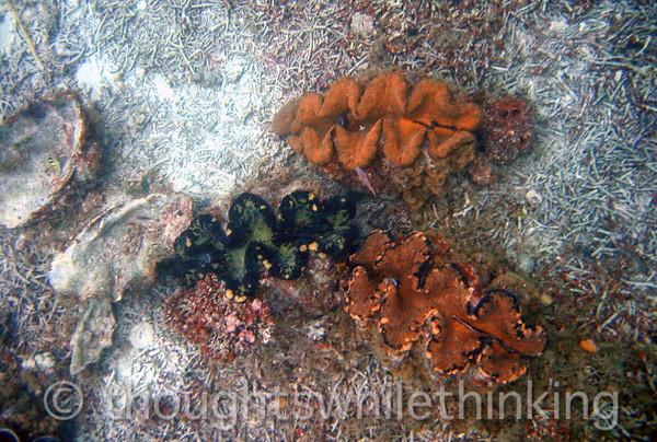 Micronesia 2007 : Palau giant clams IMG_1125.JPG