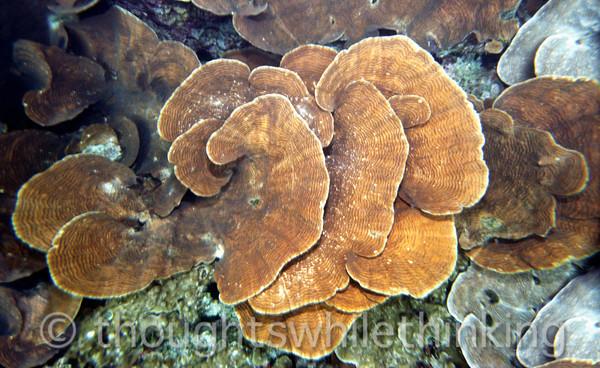 Micronesia 2007 : Palau scroll coral IMG130