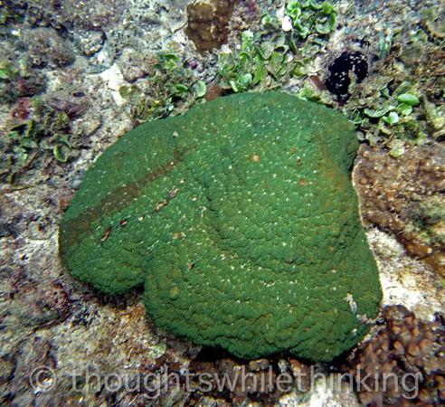 Micronesia 2007 : Palau coral Montipora IMG150