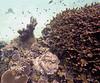 Micronesia 2007 : Palau coral IMG042