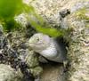 Micronesia 2007 : Ulithi snowflake moray eel IMG_1462.JPG