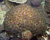 Micronesia 2007 : Palau brain coral IMG132