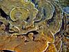 Micronesia 2007 : Palau scroll coral IMG_1088.JPG