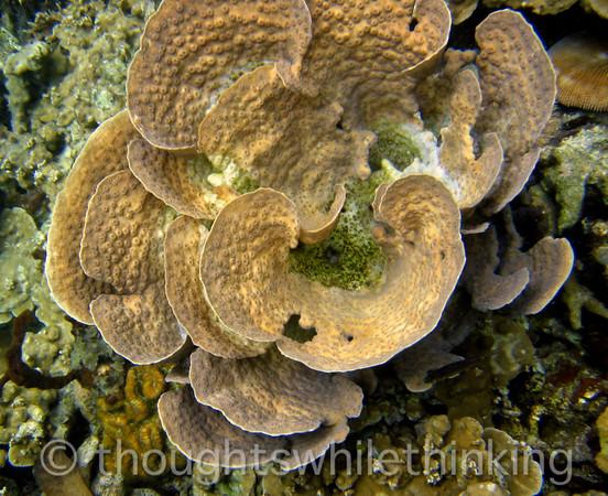 Micronesia 2007 : Palau scroll coral IMG_1188.JPG