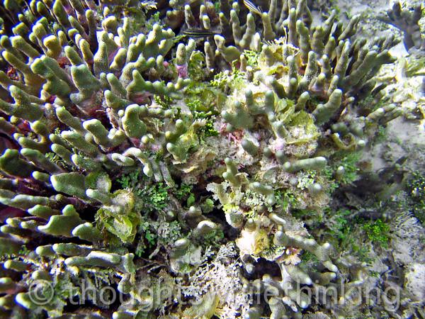 Micronesia 2007 : Ulithi coral & green leaf algae IMG_1436.JPG