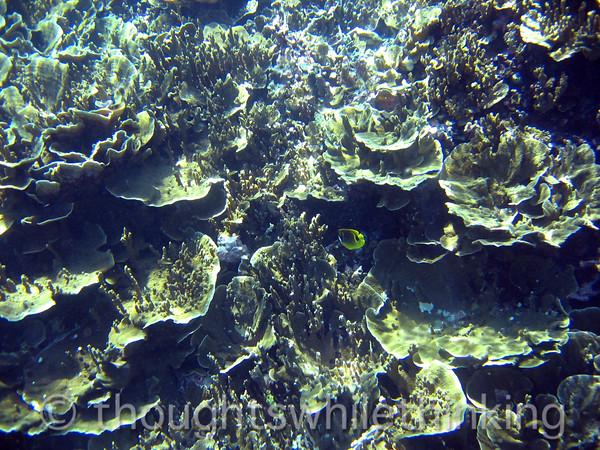 Micronesia 2007 : Ulithi cabbage coral IMG_1355.JPG