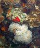 Micronesia 2007 : Palau bubble/grape coral IMG_1200.JPG
