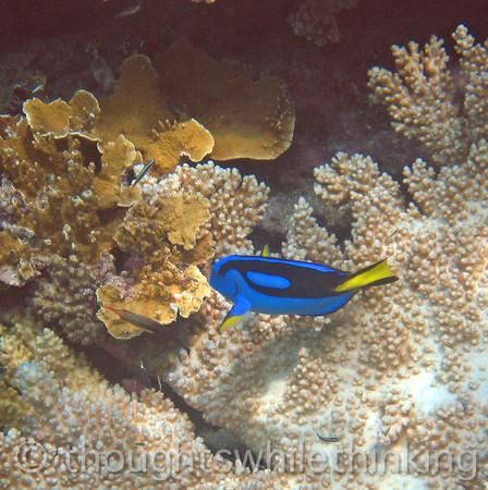 Micronesia 2007 : Palette Surgeonfish IMG_1394.JPG