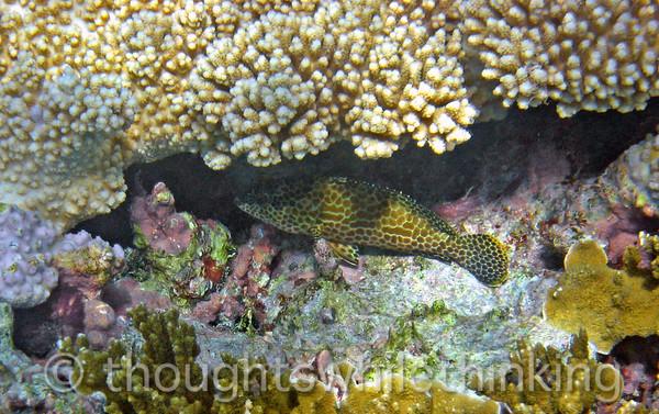 Micronesia 2007 : Honeycomb Grouper IMG_1389.JPG