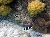 Micronesia 2007 : Clark's Anemonefish IMG_1140.JPG