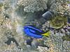 Micronesia 2007 : Palette Surgeonfish & Reticulated Butterflyfish IMG_1384.JPG