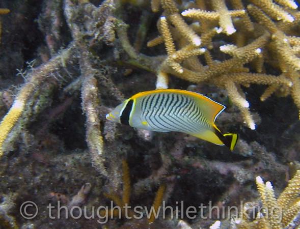 Micronesia 2007 : Chevroned Butterflyfish IMG_1254.JPG