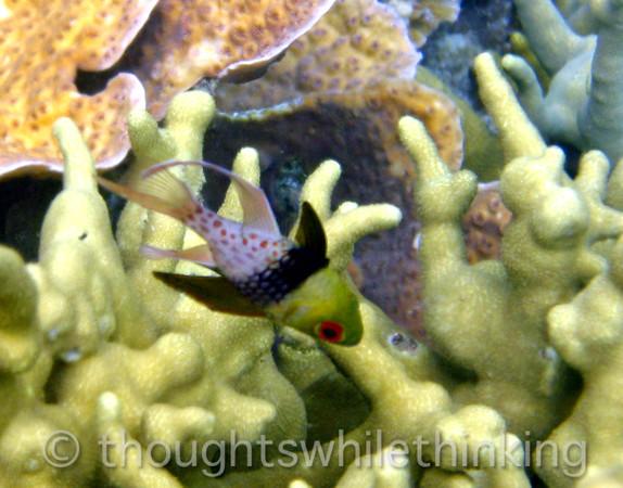 Micronesia 2007 : Pajama Cardinalfish IMG_1219.JPG