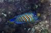 Micronesia 2007 : Regal Angelfish IMG_1107.JPG