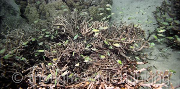 Micronesia 2007 : Greasy Grouper & green friends IMG154