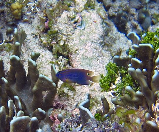 Micronesia 2007 : Brackish Damsel (juvenile) IMG_1419.JPG