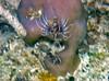 Micronesia 2007 : Spotfin Lionfish (juvenile) IMG_1135.JPG