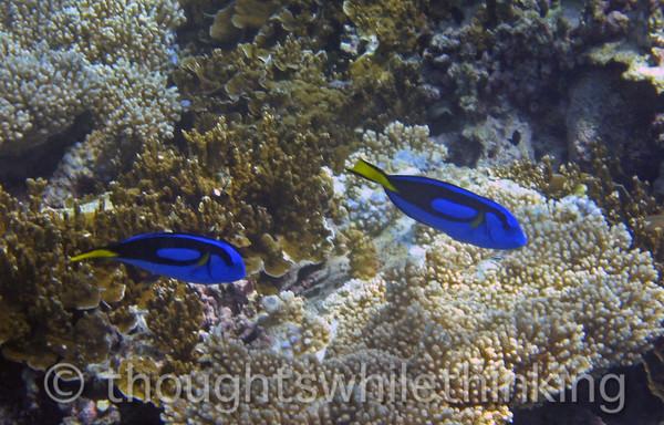 Micronesia 2007 : Palette Surgeonfish IMG_1393.JPG