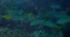 Micronesia 2007 : Blue & Yellow Fusilier IMG_1108.JPG