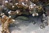 Micronesia 2007 : Honeycomb Grouper IMG_1429.JPG