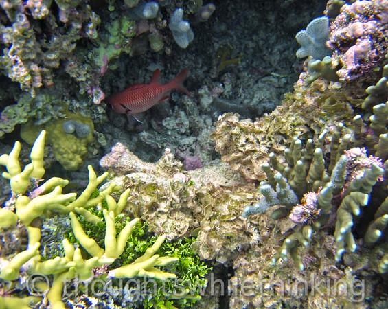 Micronesia 2007 : Big-Scale Soldierfish IMG_1407.JPG
