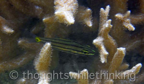 Micronesia 2007 : Toothy Cardinalfish IMG_1221.JPG