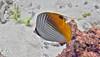 Micronesia 2007 : Threadfin Butterflyfish IMG_1402.JPG