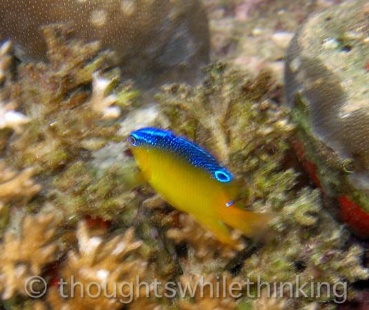 Micronesia 2007 : Onespot Demoiselle (juvenile) IMG_1236.JPG