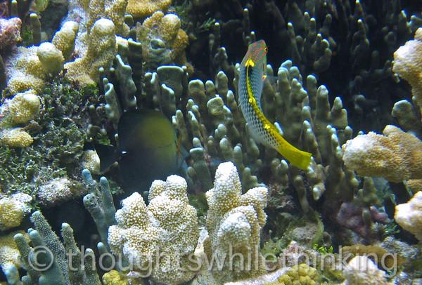 Micronesia 2007 : Brushtail Tang & Checkerboard Wrasse IMG_1444.JPG