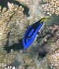 Micronesia 2007 : Palette Surgeonfish IMG_1387.JPG