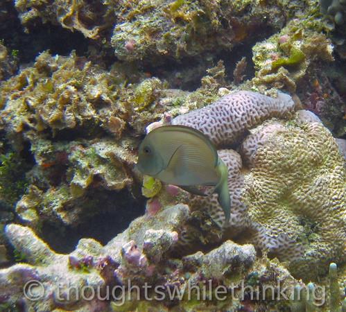 Micronesia 2007 : Blue-Lined Surgeonfish IMG_1447.JPG