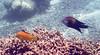 Micronesia 2007 : Slingjaw Wrasse IMG023