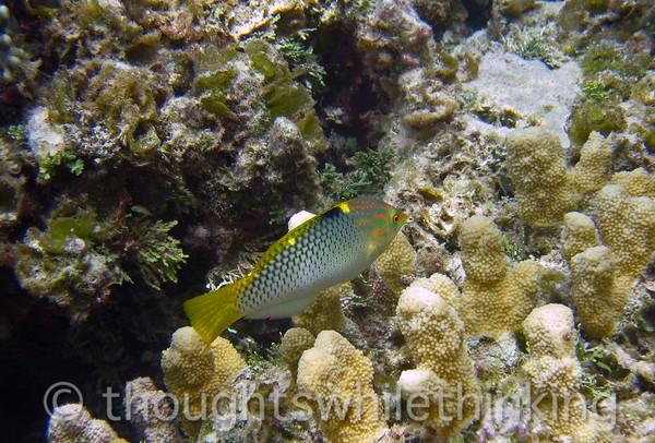 Micronesia 2007 : Checkerboard Wrasse IMG_1450.JPG