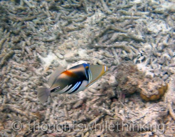 Micronesia 2007 :  Picasso Triggerfish IMG_1146.JPG