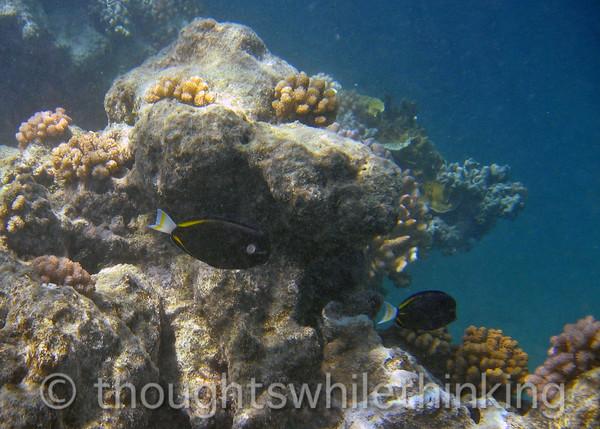 Micronesia 2007 : Whitecheek Surgeonfish IMG_1319.JPG