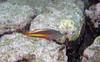 Micronesia 2007 : Freckled Hawkfish IMG_1105.JPG