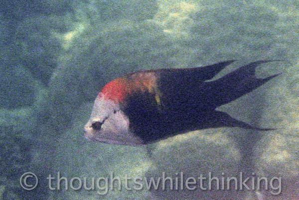 Micronesia 2007 : Slingjaw Wrasse IMG031