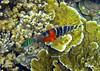 Micronesia 2007 : Redbreasted Wrasse IMG_1090.JPG
