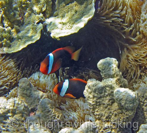 Micronesia 2007 : Tomato Anemonefish IMG_1349.JPG