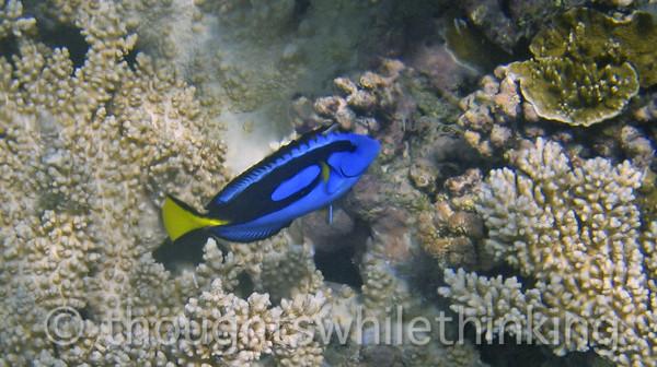 Micronesia 2007 : Palette Surgeonfish IMG_1383.JPG