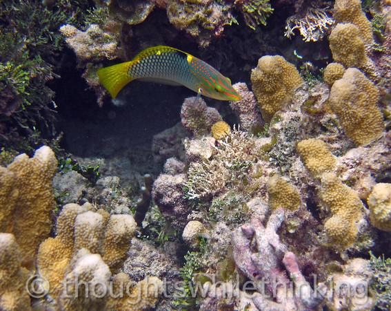 Micronesia 2007 : Checkerboard Wrasse IMG_1448.JPG