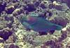Micronesia 2007 : Bullethead Parrotfish IMG027