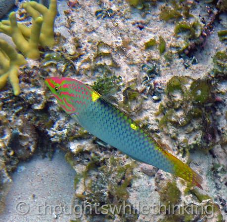 Micronesia 2007 : Checkerboard Wrasse (initial phase) IMG_1411.JPG